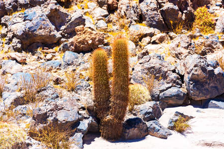 Cactus in the Atacama desert, Chile