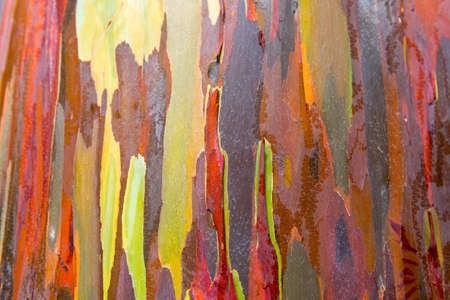 Eucalyptus bark texture abstract background, Kauai, Hawaii, USA. Close-up
