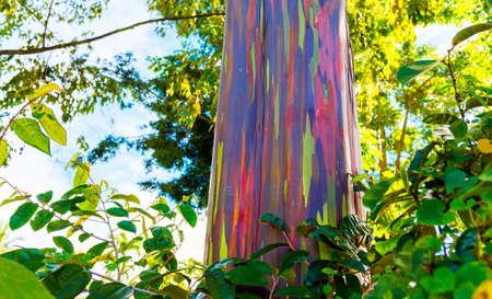 View of the rainbow eucalyptus, Kauai, Hawaii, USA 免版税图像