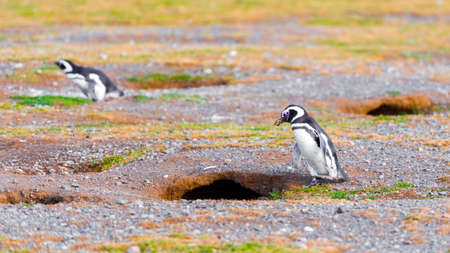 Couple of Magellanic Penguin, Spheniscus magellanicus, Isla Magdalena, Patagonia, Chile 写真素材