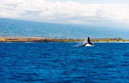 Whale jumps out of the water, Hawaii, USA. Copy space for text