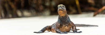 Marine iguana on a sandy beach, Galapagos Island, Santa Cruz Island- Port Ayora. With selective focus Stock Photo