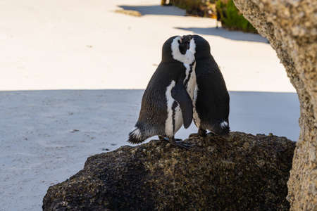 A couple of african penguin at boulders beach, Cape Town, South Africa 免版税图像