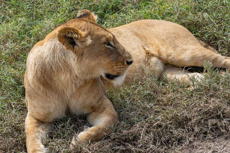 Female Lion at the lying beside a Road at the Ngorongoro Conservation Centre, close up Reklamní fotografie