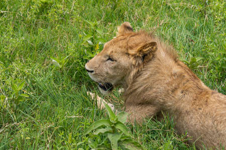 Female Lion lies on green Grass at the Ngorongoro Conservation Area, selected Focus, Top view