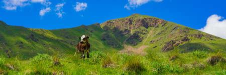 Calf on a Beautiful Green Meadow at North Caucasus, Elbrus Region, Russia, Panorama