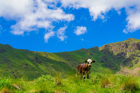 Calf on a Beautiful Green Meadow at North Caucasus, Elbrus with blue Sky Background