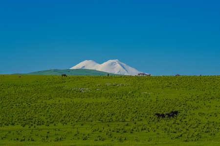 Herd of Horses in Caucasus Mountain at Sunny Day. Background Elbrus. North Caucasus, Russia