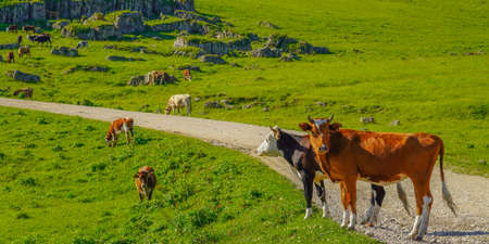 Cows on a Beautiful Green Madow at North Caucasus, Elbrus Region, Russia, Panorama