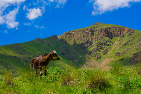 Calf on a Beautiful Green Meadow at North Caucasus, Elbrus Region, Russia Stock Photo