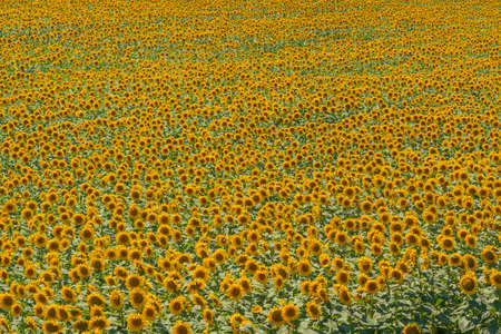 Field of blooming sunflowers with green leaves