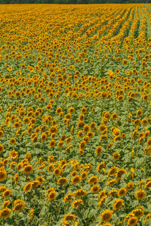 Field of blooming sunflowers with green leaves , vertical