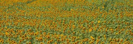 Field of blooming sunflowers with green leaves, panorama