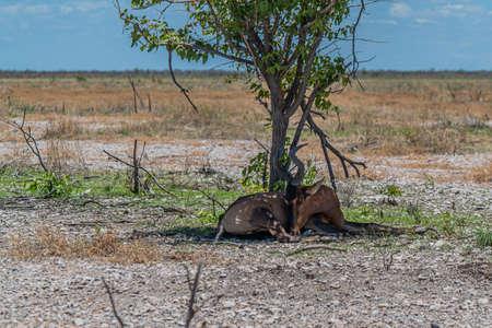 Male kudu antelope lie under a tree at the savanna in Etosha National Park, Namibia