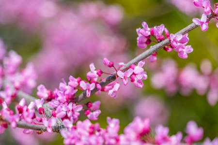 Closeup of Eastern Redbud flowers in bloom on a branch, selected focus blurry background Stock Photo