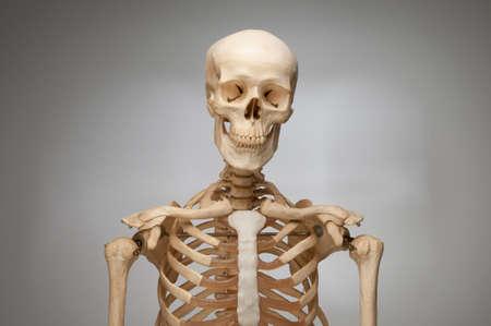 Human Skeleton photo