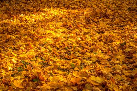 Autumn season with golden leaves