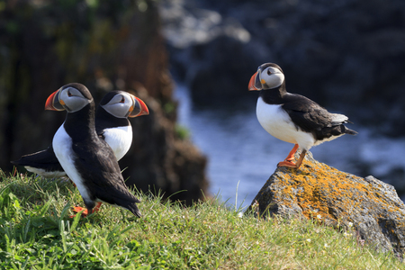 Atlantic puffins on the cliffs of Newfoundland and Labrador, Canada.