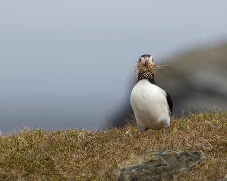 Atlantic puffin with grass in its beak on the rocky cliffs along the coastline of Newfoundland and Labrador, Canada. Stock Photo