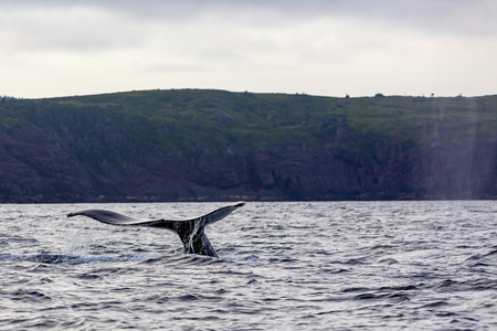 Humpback whale tail showing as whale dives for food in near the Cape Spear, the most easterly point in North America, Newfoundland and Labrador, Canada.