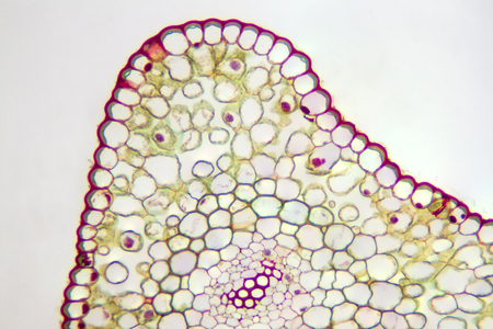 Generalized plant cells viewed under the microscope. Фото со стока