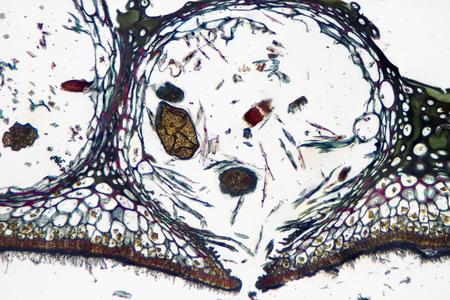 Fucus vesiculosus – Female showing conceptacles, non-median.