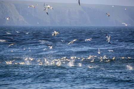 Gannets and shearwaters feeding on Caplin (Capelin) at the beach in St. Vincent's, Newfoundland and Labrador, Canada.