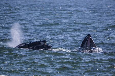 Humpback whales feeding at St. Vincent's Beach in St. Mary's Bay, Newfoundland and Labrador, Canada.