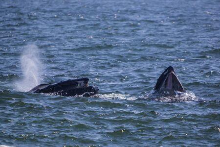 Les baleines à bosse se nourrissent à la plage de Saint-Vincent dans la baie de Sainte-Marie, à Terre-Neuve-et-Labrador, au Canada.