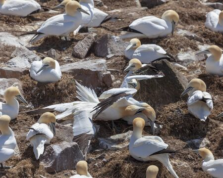 Northern Gannets at Cape St. Mary's Ecological Reserve in Newfoundland and Labrador, Canada.
