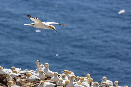 Northern Gannet at Cape St. Marys.