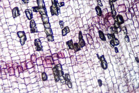 Microscope stained slide of cork cells. Zdjęcie Seryjne
