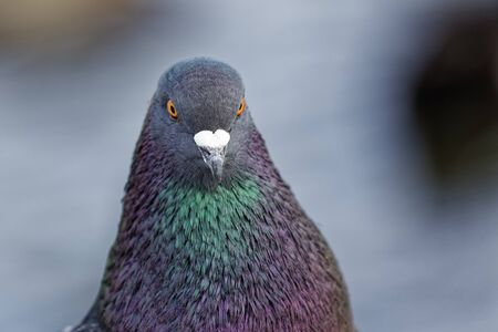 A feral pigeon, Livia domestica, close up. Archivio Fotografico