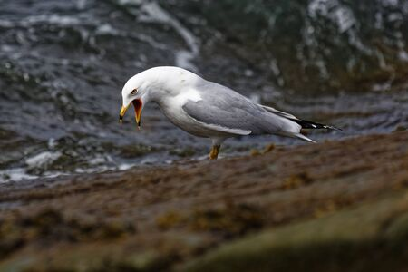 Ring-billed Gull on the rocks near the Atlantic Ocean. Archivio Fotografico