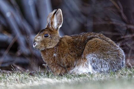 A Snowshoe Hare in a field near a forest.
