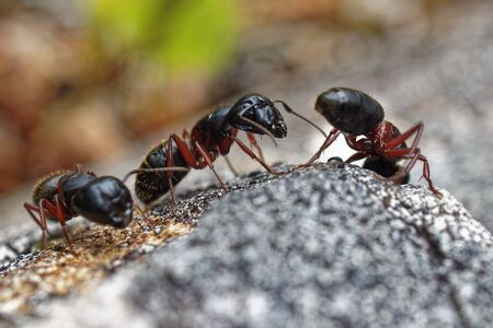 Carpenter Ants moving around and communicating. Archivio Fotografico