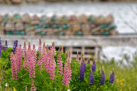 Bright colored lupins growing along the coast near a fishing wharf in rural Newfoundland and Labrador. Archivio Fotografico