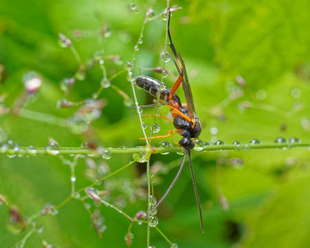 An Ichneumon wasp on a blade of grass with water droplets on the grass.