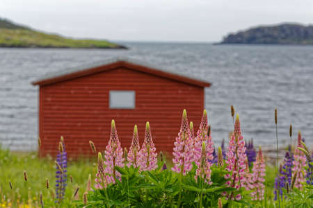 Bright colored lupins growing near a fishing stage in rural Newfoundland and Labrador.