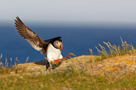 Atlantic puffin with grass in its beak on the rocky cliffs along the coastline of Newfoundland and Labrador.