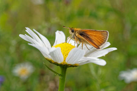 The European (Essex) Skipper butterfly resting on a flower.