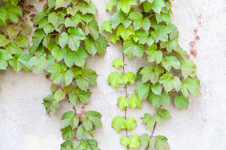 ivy wall: ivy leaves on wall Stock Photo