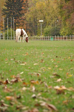 piebald: piebald �nico caballo en un prado