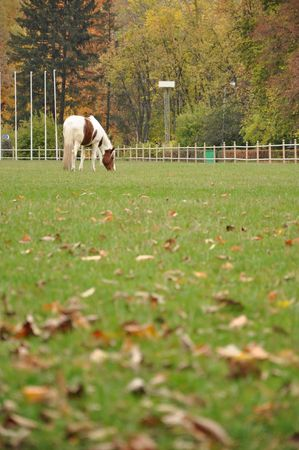 piebald: single piebald horse on a meadow Stock Photo
