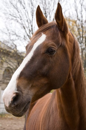 enclosure: Chestnut horse looking out of enclosure