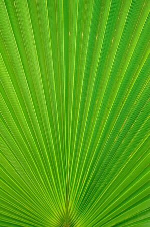 Radiant pattern of green palm leaf Stock Photo - 4822390