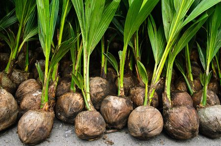 Rows of coconut seedlings ready for planting photo