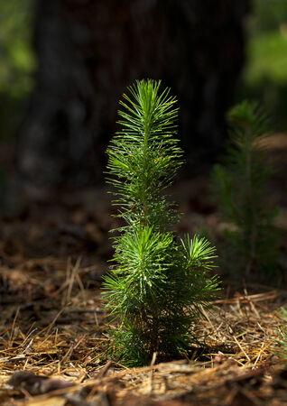 Plant d'arbre Pine Banque d'images - 26586648
