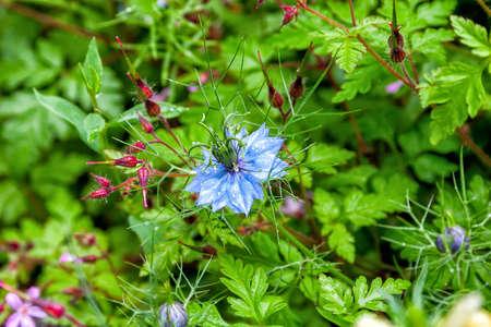 Black seed, Nigella Sativa plant, blue flower. Selective focus
