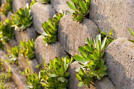 Houseleek, Sempervivum on Form-work stone wall made of grey concrete bricks
